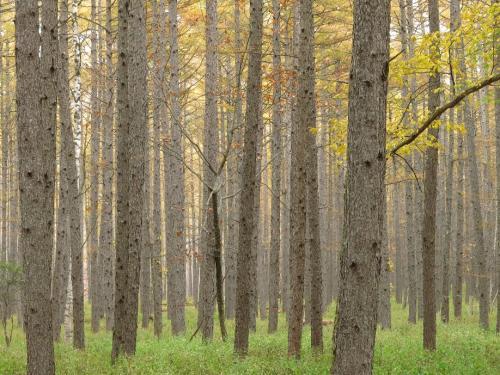 千手ケ原;<br />ここのカラマツ林や白樺の道は、毎日でも歩きたい<br />武蔵野の独歩さんもこんな気持ちだったにちがいない。<br />