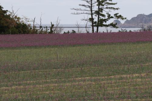 昼食の後、最後の目的地「鳥取砂丘」へ向かいます。<br /><br />浦富海岸から砂丘へ向かう途中、この時期ならでは観光スポットと言うことで、「砂丘らっきょう」畑に寄り道します。<br /><br />丁度、10月下旬から11月上旬に「らっきょうの花」が咲くのです。<br />らっきょう畑は丘一帯に広がており、紫色の花が咲いてました。