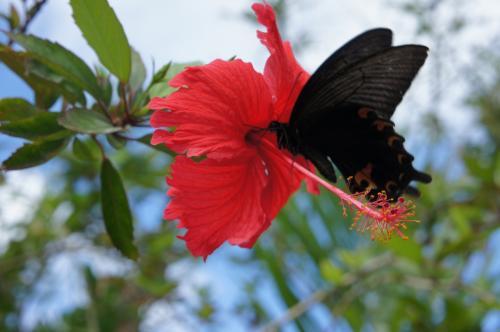 駐車場ではアカバナーに蝶々。