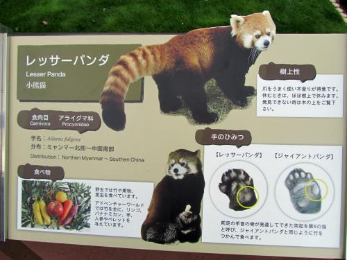 レッサーパンダの特徴解説に使われた写真は、シンシンくん(上)と下はライラちゃんかな