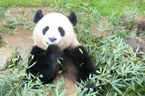 11時頃、早めのランチをとっていた優浜ちゃん<br /><br />ジャイアントパンダは笹を食べている最中は目をつぶって味わっていることが多いです。<br />