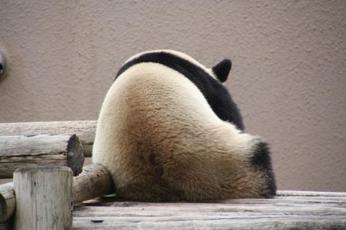 陽浜ちゃんがおにぎりみたいになってお昼寝中
