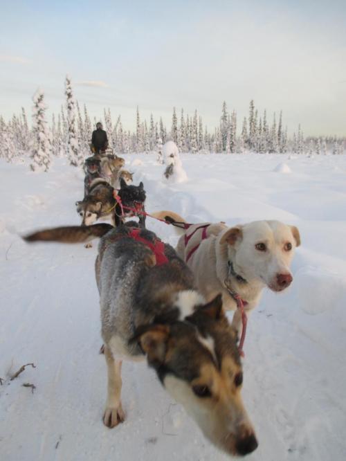 犬ぞりのツアーに参加しました。アラスカに慣れたと甘くみていました。30分程でだいぶ体が冷えてしまいました。1番前にいる犬はリーダー格のようです。犬は移動中でもフンを落としていました。