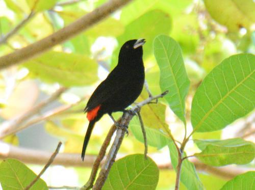 付近を探すとCherrie's Tanager(コシアカフウキンチョウ)がいた。腰の部分だけ赤い。<br /><br />昼食の時、ナマケモノを話題にしたので、近くの自然保護区に立ち寄ってくれた。いくつかの鳥は居たが、ナマケモノは見つからなかった。