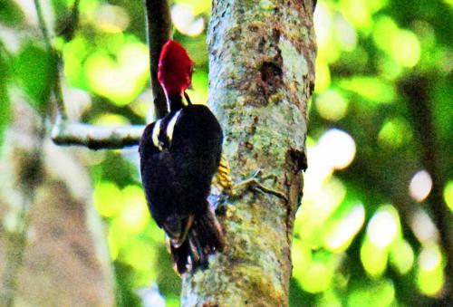 アンドリューがキツツキがいると呼びに来た。Pale-billed Woodpecker(ズアカエボシゲラ)で33cmあるという大型のキツツキだ。頭から顔まで全体が赤い。