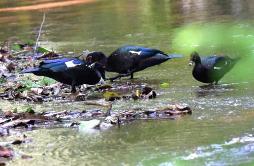 川にはMuscovy Duck(ノバリケン)がいた。オスは顔に赤い斑点がある。