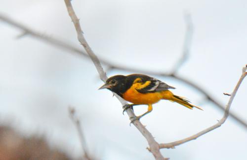 3月1日。食堂の近くにあるエサ台にBaltimore Oriole(ボルチモアムクドリモドキ)が来ていた。和名表記のいくつかは露木氏のアメリカ大陸の野鳥(http://tsuyukibird.com/)を参考にさせていただいた。<br /><br />朝食は6時から。鳥屋の宿らしい心配りだ。6時半にはマオの車に乗った。いよいよコンゴウインコを本格的に探すのだ。車で2,3分行くともうコンゴウインコの群れが野生のアーモンドの実を食べているのに出くわした。この時は良い写真とならなかった。メモリー切れでモタモタしたし、インコもゆっくりしていなかった。