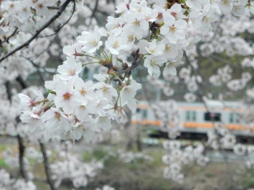 美しい花びら。背景がちょうど中央線の電車が通りました。