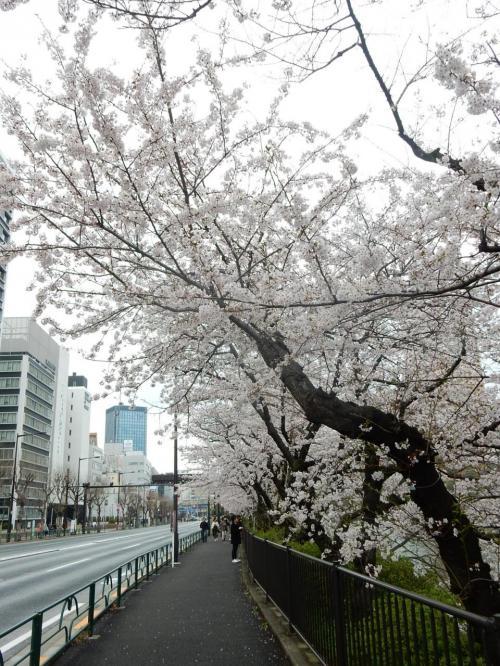 素晴らしい道路沿いの桜並木です!