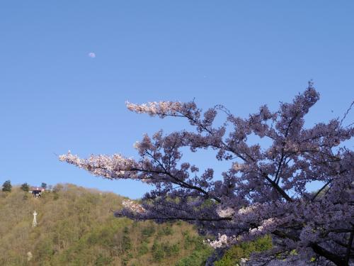 すっかり天気も回復して晴れてきたので、お散歩へ。月と桜のコラボ。