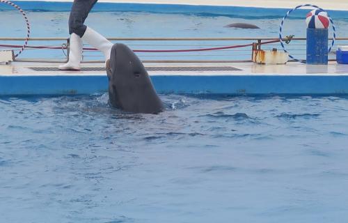 この子はたしかゴンドウイルカ(クジラ)のゴンちゃん!<br />一番たくさん働いて?いました。