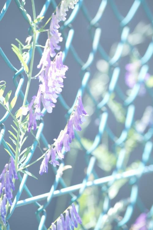 来てみて悟ったが、完全に来る時期<br />と時間を完全に間違えた。<br /><br />今の時期、夏草が生い茂っていて、<br />これはこれですごいのだが、秋の草<br />が枯れた時期に来たほうがはっきり<br />見えてよかったのではないかと思う。<br /><br />時間も昼前だと、光の加減がどこか<br />ら撮ってもほとんど逆光に近くなる。<br /><br />午後3時を過ぎて日が傾きかけた時<br />間帯のほうが良かったと思う。<br /><br />東京近辺で残っている米軍基地跡は<br />立川のキャンプフィンカム跡と埼玉<br />県朝霞市のキャンプドレイクがある<br />が、いずれも規模は小さく、ここに<br />ははるか及ばない。
