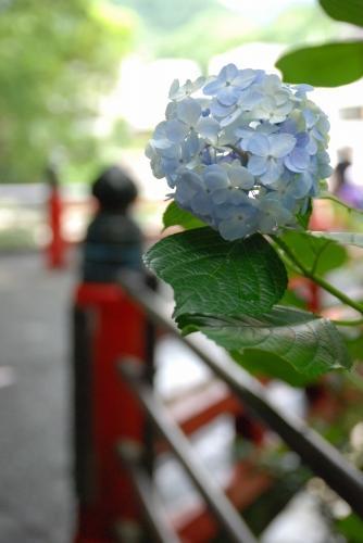 強羅駅で電車に乗る前は雨が降ったり止んだりな曇り空だったのに、箱根湯本駅に着いたら強烈な日差しで晴れてるわ真夏なみの暑さだわ。しかも雨上がりで酷い蒸し暑さ。<br />駅前のあじさい橋までさらりと散策して、早々に戻ることに。