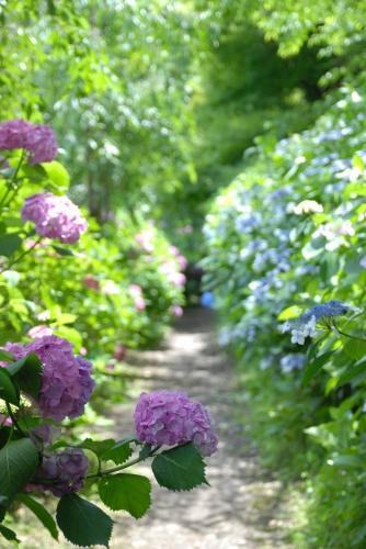 フェンスに沿って進んで行ったら、こんな素敵な紫陽花の小道が♪
