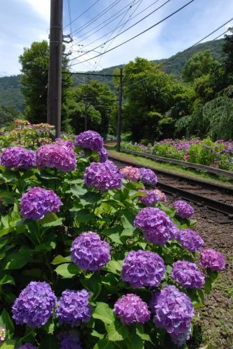 線路脇に咲く紫陽花の見事なこと!もりもりの紫陽花。