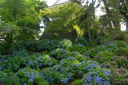 紫陽花を期待していったわけではないのに、城址公園を進んでいくと「あじさいの小径」どころではない、城壁一面に紫陽花!テンションMAX!