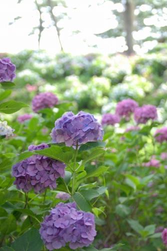 大好きな紫陽花をこれでもかと満喫できて、大満足な一日となったのでした♪