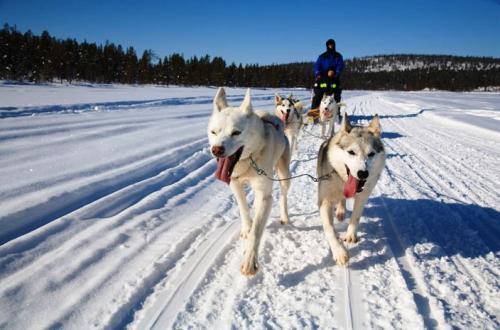 キルナ郊外の Sleddog Trips(犬ぞりツアー)<br />2〜3時間のコースはサンドイッチとコーヒー付きで 1,150 KR(スウェーデン・クローナ:日本円で \ 16,900当時)<br />