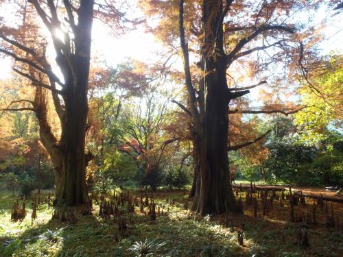 「ラクウショウ」<br /><br />メタセコイアに似た落葉針葉高木のラクウショウの周り地面にはごつごつ、にょきにょきと竹の子のように呼吸のための呼吸根が無数に出ている。<br />この樹は北米原産のもので湿地や沼地に生育するのでヌマスギとも呼ばれ、明治時代に植えられた樹齢100年を越える大木。<br /><br />