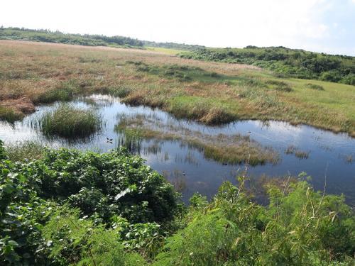 池間湿原<br /><br /> 地図を見たら「池間湿原」とありました。 湿原男としては行かないわけにはいきません。間違いなく日本最南端の湿原でしょう。 ただ成因はもともとは内湾であったものが、港の整備のため堰き止められ、それが淡水化し湿原となったようです。広さもあってなかなかのものでした。