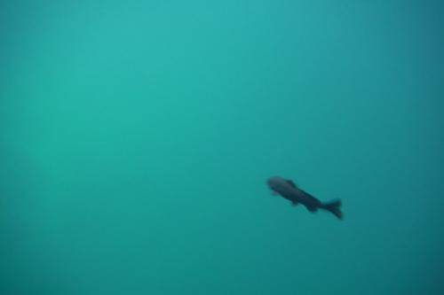 ここには昔からの住人がいて<br /><br /><br />セノーテの中、いたるところにこの黒い魚がウヨウヨ…。<br /><br /><br />