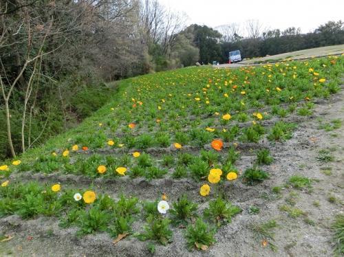 """日本庭園前ゲートを出発して約30分、「花の丘のポピー畑」に着きました。<br /><br />花の丘は東西南北が斜面になっており、丘のテッペンにベンチ等が置かれ、のんびりと花が鑑賞できるようになっています。<br /><br />入って真正面の斜面を見ると、咲いているポピーは数割、殺風景な景色でした。<br /><br />入って左側の北東斜面を見ても、咲いているポピーは数割、殺風景な景色でした。<br /><br />咲いている花は少なく、ツボミがほとんどでした。<br /><br />""""やはり訪れるのが早すぎたか?""""と思いましたが、南斜面の畑を見ると多くの花が咲いていました。<br /><br />※写真は、北東斜面のポピー。<br />"""