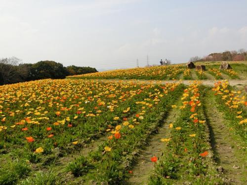 南側斜面には、多くのポピーが咲いていました。<br /><br />花は多く咲いていましたがツボミも多い状況でした。そのような状況だったので萎れた花はなく、花全体が生き生きしていました。<br /><br />※南側の遊歩道から見た北側の景色。