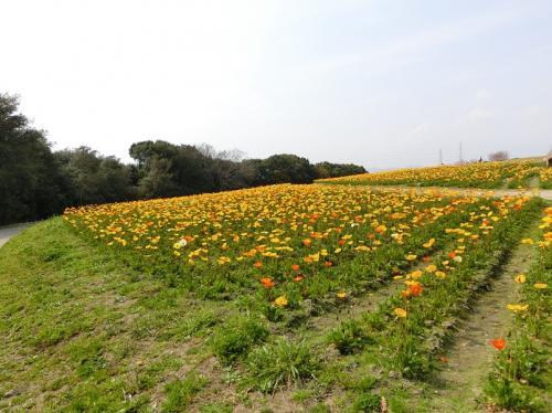 南側斜面には、多くのポピーが咲いていました。<br /><br />花は多く咲いていましたがツボミも多い状況でした。そのような状況だったので萎れた花はなく、花全体が生き生きしていました。<br /><br />※南側の遊歩道から見た北西側の景色。