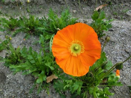 オレンジ色のポピー。