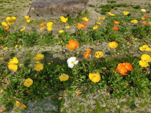 黄色&オレンジ色のポピー。