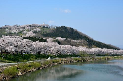 小高い山(標高約136メートルの舘山)の上まで桜が回廊のように続いていますが、ここが現在は「船岡城址公園」となっており、「白石川堤一目千本桜」とともに宮城県で唯一の「日本さくら名所100選」に選定されています。