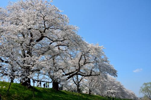 川沿いから見上げても桜並木!!