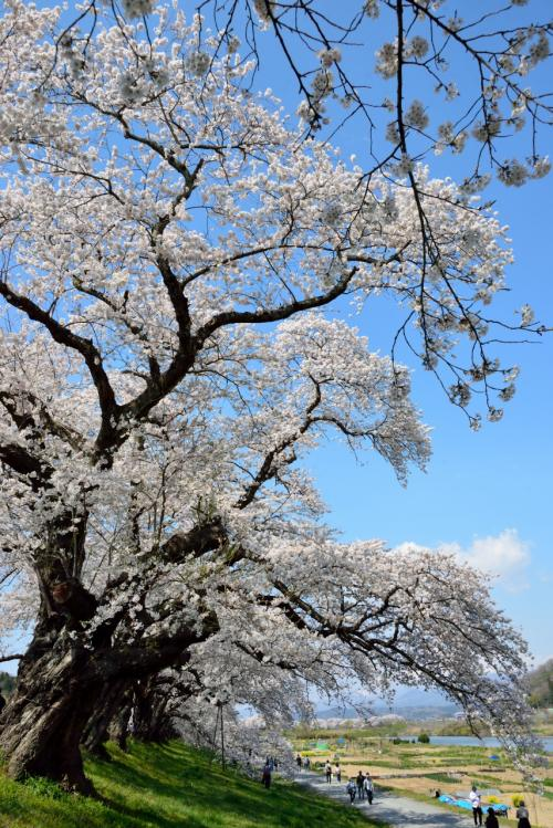 この桜の木の幹回りの太さとか枝振りとかがすごいですねぇ。<br />樹齢何十年と思われる立派な木々が並んでいる姿は、まさに壮観そのもの♪
