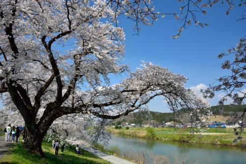 堤の上から眺めても桜並木!