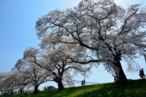 後ろを振り返ってももちろん桜並木!!!<br />どこを見ても、見事に咲き誇る桜並木が続いていますね~。
