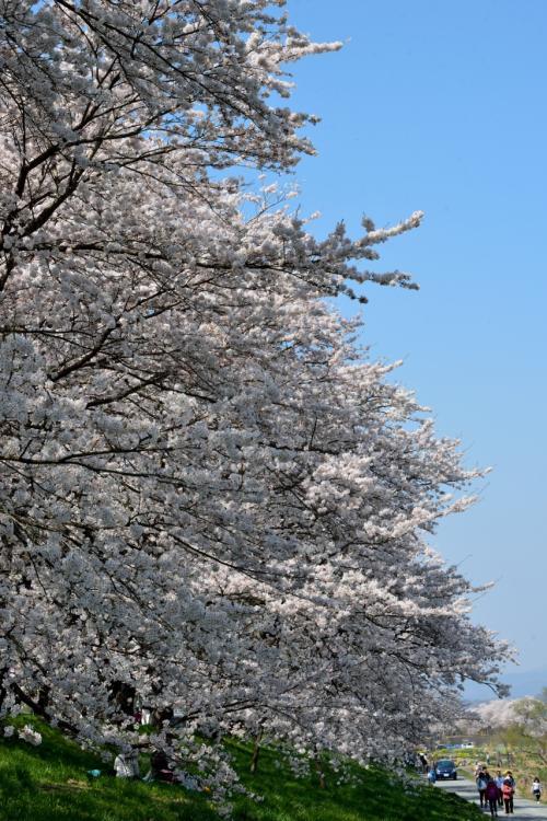 """そばに寄ってみると、この桜のボリューム感がすごいですね~。<br />この川沿いの堤あたりが、""""桜絶景ポイント②""""になっています。"""
