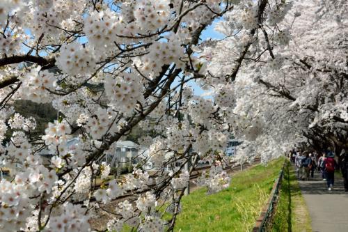 ということで、引き続き桜並木の中を歩いてゆきます。<br />1本道なので迷う要素はありませんし。