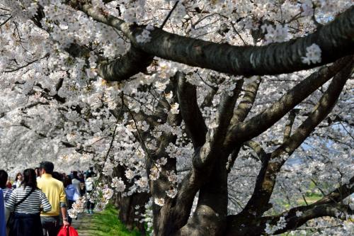 さすがに東北有数の桜の名所だけあってか、まだ10時前にもかかわらず、遊歩道は大勢の花見客で賑わっています。