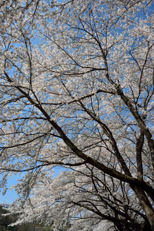 空を見上げても、桜の花々に包まれて。。。<br />やっぱり桜には青空が似合います。