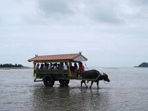 由布島へは牛車で渡る
