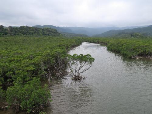 古見川のマングローブ林