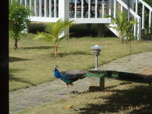 敷地内には孔雀まで放し飼い