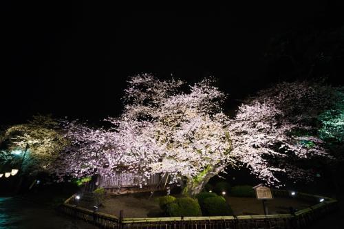 超広角で最古の桜の全景<br />いつもながら見事な桜です