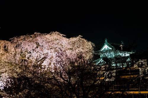 移築中の天守と桜