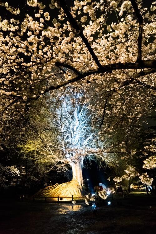 途中不思議な銀杏の木が<br />由緒書きがありましたが、雨なので先を急ぎます