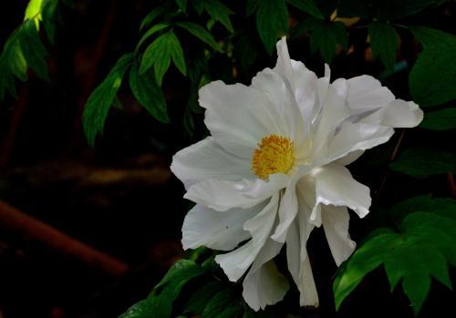 白い牡丹がそよ風になびく様は、まるでティッシュペーパーで模造した花を彷彿とさせ、頬が弛みます。<br />牡丹と芍薬の違いをご存知でしょうか?<br />共に牡丹科牡丹族ですが、牡丹は低木(木本植物)で木の姿で冬越し、芍薬は草(草本植物)で冬は地上部が枯れて根が生き残ります。「立てば芍薬、座れば牡丹、歩く姿は百合の花」と言われますから、芍薬はすらりと伸びて背が高く、牡丹は木で枝分かれして低い位置に咲きます。<br />しかし例外もあり、ここの牡丹は背が高く、芍薬と勘違いしそうです。と言うのも、近年は牡丹と芍薬の交配が進んでいるそうですから…。