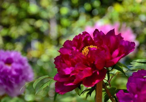 牡丹色とはこの花の色彩を指すそうです。明治時代に爆発的に流行した色で、華やかな色彩が女性たちに支持されたようです。<br />牡丹の花は古来、その絢爛な色と形から「富貴の花」として観賞され、その観賞記事は『枕草子』や『栄花物語』などの平安文学にも見られます。色彩名として牡丹の名前が登場するのは平安時代後期の女房装束の袿(うちぎ)の重ね(5つ衣)に用いられた「襲の色目(かさねのいろめ)」の色名としてであり、表裏の組み合わせは淡蘇芳、白、濃い赤などとされています。