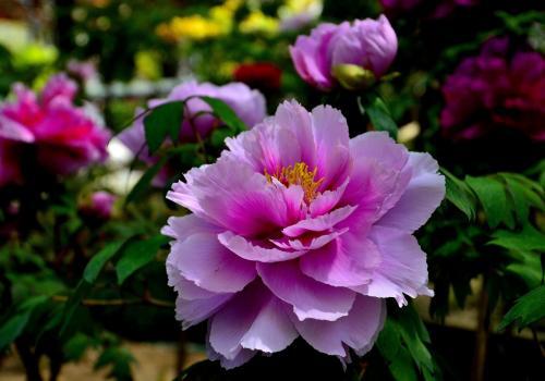 仏教的な寺院に相応しい牡丹の色としては、こうした蓮の花をイメージさせる薄桃色もいいかもしれません。<br />こうしたピンク系は結構見かけました。