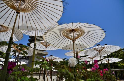 牡丹の日除け・雨除けのために、白い和傘が所狭しと開かれています。優雅に傘をさす貴婦人の様な気品溢れた牡丹の花姿は、まさに「百華の王」の風格です。因みに牡丹の花言葉は、「王者の風格」「高貴」です。<br />今日はお天気も良く、まだ4月だというのに夏日になりました。そのせいか傘の下の牡丹は活き活きとしていますが、直射日光を浴びている牡丹は午前中ながらすでに頭を垂れてぐったりしています。