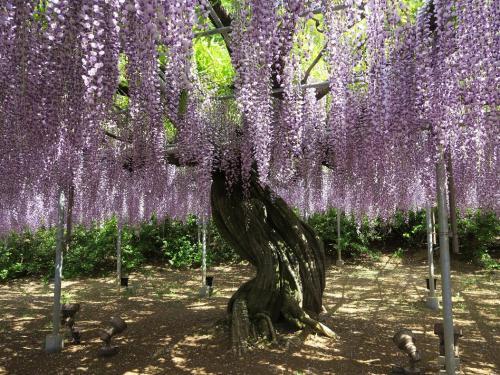 観光目当てに新しく植えたものではありませんよ。見てください、この幹<br />紫藤棚